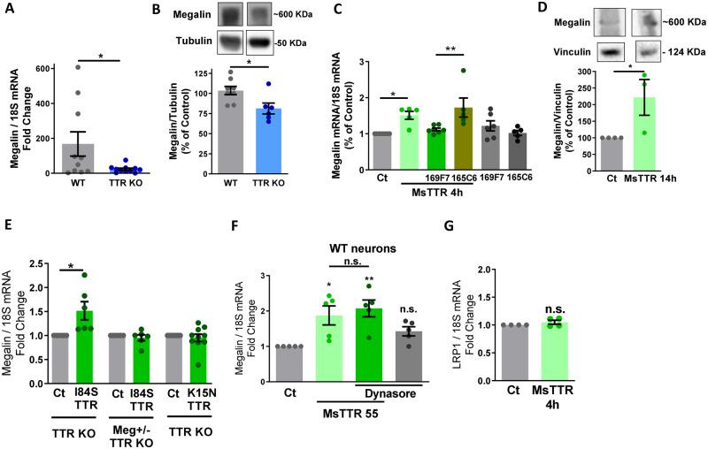 TTR rescues megalin downregulation in TTR KO hippocampal neuronal cultures, in a megalin-dependent way. ( A ) Total RNA was extracted from WT ( n = 11) and TTR KO ( n = 10) hippocampal neuronal cultures (7 DIV), and megalin and 18S mRNA levels were semi-quantified through real-time PCR, showing a reduction in megalin mRNA levels in hippocampal neurons of TTR KO mice. ( B ) Megalin and tubulin protein levels were determined by western blot in TTR KO ( n = 6) and WT ( n = 8) hippocampal neuronal cultures, with a decrease in megalin protein levels observed in TTR KO neurons. TTR KO cultured hippocampal neurons were stimulated with recombinant mouse TTR [55 µg/ml (1 µM)] for 4 h (mRNA) ( C ) or 14 h (protein) ( D ). When indicated, neurons were treated with TTR, in presence or absence of anti-TTR Nanobodies 169F7 and 165C6 (2 µM), or treated only with the nanobodies ( C ). TTR treatment rescued megalin mRNA ( C , n = 5–7 independent cultures) and protein levels ( D , n = 3 independent cultures) in TTR KO neurons, and the effect was abolished in the presence of the 169F7 nanobody, specific for TTR-megalin interaction epitope ( C ). Megalin (+/−) TTR KO and TTR KO cultured hippocampal neurons (7 DIV) were stimulated with recombinant mutated forms of mouse TTR, I84S (a TTR with low affinity for its ligands) and K15N (55 µg/ml, for 4 h; a TTR mutated in the 169F7 nanobody epitope, affecting TTR-megalin interaction), and megalin and 18S mRNA levels were assessed ( E , n = 6–10 neuronal cultures). TTR-induced effect in increasing megalin levels is independent of TTR ligands but depends on TTR binding to megalin and on megalin levels. (F) WT hippocampal neuronal cultures were stimulated with recombinant mouse TTR (55 µg/ml, for 4 h) in the presence or absence of the inhibitor clathrin-mediated endocytosis Dynasore (80 μM) and megalin mRNA levels were assessed ( n = 5 neuronal cultures). No effect was observed in the presence of the inhibitor, indicating that TTR-induced increa