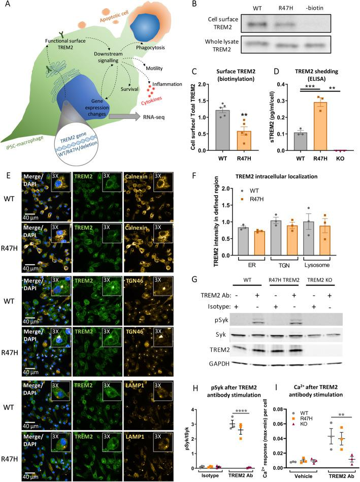 Reduced cell surface localization of R47H TREM2 does not impair antibody-mediated activation of TREM2 in pMac. a Schematic of microglia phenotypes investigated in this study. b , c Reduced cell surface expression of R47H TREM2. Cell surface pro teins on pMac were biotinylated and pulled down, the level of TREM2 protein enrichment was measured by Western blotting vs whole cell lysate, probed on separate blots. c Means ± SEM, for N = 5 harvests measured on separate Western blots. 2-tailed paired t-test: ** p = 0.0011 for R47H versus WT. d Increased sTREM2 production from R47H TREM2 pMac. sTREM2 were measured from unstimulated pMac supernatants by ELISA. Means ± SEM, for N = 3 harvests measured on same ELISA plate, data for each harvest was normalised to the average cell count. 1-way ANOVA, with Dunnett's post hoc test: p = 0.0005 R47H versus WT (***), p = 0.0066 KO versus WT (**). e , f Co-localization of TREM2 with subcellular compartment markers in fixed and permeabilized pMac, images are a confocal slice at 4 μm, taken with Opera Phenix microscope. Inset panels are × 3 magnification of a selected cell. Calnexin used as a marker for ER, TGN46 for TGN, and LAMP1 for lysosomes. f Co-localization expressed as a ratio of TREM2 intensity to compartment marker intensity, in regions automatically segmented by high marker staining. Means ± SEM, for N = 3 harvests, each in triplicate wells. 2-way ANOVA, with Bonferroni's post hoc test, no significant differences. g , h TREM2-activating antibody stimulation (used at concentration of 2.4 μg/1 × 10 6 cells and 3.84 μg/mL, for 10 min) of both WT and R47H TREM2 pMac caused SYK phosphorylation, measured by Western blotting. No response seen in TREM2 antibody-stimulated TREM2 KO cells, or cells treated with a goat IgG isotype control. h Means ± SEM, for N = 3 harvests measured on separate Western blots. 2-way ANOVA, with Sidak's post hoc test, pairwise comparisons to WT for each treatment: p