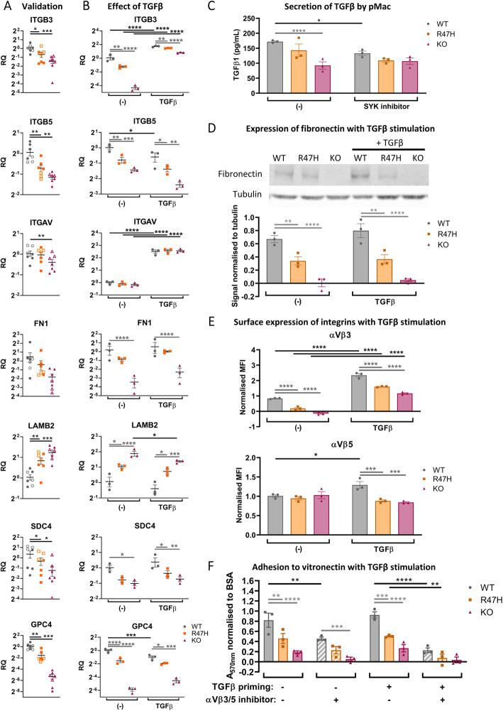 Extracellular matrix-adhesion modifiers and adhesion to vitronectin are dysregulated in R47H TREM2 and TREM2 KO pMac. TGFβ treatment does not rescue adhesion deficits. a Validation of selected RNA-seq hits by qRT-PCR of unstimulated pMac. Means ± SEM, for N = 7 harvests, including the 3 samples originally used for RNA-seq (open symbols) plus 4 samples harvested independently from a separate differentiation (filled symbols). Repeated-measures 1-way ANOVA, with Dunnett's post hoc test, pairwise comparisons to the WT. b Effect of TGFβ-stimulation (50 ng/mL, 24 h) on mRNA levels of selected RNA-seq hits, measured by qRT-PCR. Means ± SEM, for N = 3 samples harvested independently to Fig. 5 a. Two-way ANOVA, with Sidak's post hoc test. c TREM2 KO pMac secrete reduced levels of TGFβ1 compared with WT, and TGFβ1 secretion is partly SYK-dependent. Total (inactive and active) TGFβ1 measured from supernatants by ELISA, cells treated ± OXSI-2 (2 μM, 24 h) to inhibit SYK. Means ± SEM, for N = 3 harvests. Two-way ANOVA, with Sidak's post hoc test. d Fibronectin protein expression is reduced in both R47H TREM2 and TREM2 KO versus WT. Fibronectin measured by Western blotting of pMac ± TGFβ1 stimulation (50 ng/mL, 24 h). Means ± SEM, quantified for N = 3 harvests on separate blots. Two-way ANOVA, with Sidak's post hoc test. TGFβ1 vs unstimulated was not significant. e αVβ3 complex formation is reduced in both R47H TREM2 and TREM2 KO versus WT. Intact surface integrins αVβ3 and αVβ5 measured by flow cytometry in pMac ± TGFβ1 stimulation (50 ng/mL, 24 h). Data is expressed as the difference in median fluorescence intensity of the specific antibody versus isotype control, normalised (by subtraction) to the average for the harvest. Means ± SEM, for N = 3 harvests. Two-way ANOVA, with Sidak's post hoc test. f Adhesion to vitronectin is reduced for both R47H TREM2 and TREM2 KO versus WT, and treatment with TGFβ (50 ng/mL, 24 h prior to assay) increases αVβ3/5-dependent adhesion. Adhesion measured after 3 h by crystal violet colorimetric assay, and normalised to BSA-blocked wells (by division, and the result subtracted from 1). αVβ3/5 inhibitor (10 μM cilengitide) was added at the start of the assay to determine αVβ3/5-specific adhesion to vitronectin (striped bars). Means ± SEM, for N = 3 harvests. Two-way ANOVA, with Dunnett's post hoc test. Black annotations compare stimulations to unstimulated control. Grey annotations compare R47H or KO versus WT for each condition. WT = grey circles, R47H = orange squares, TREM2 KO = burgundy triangles. * p