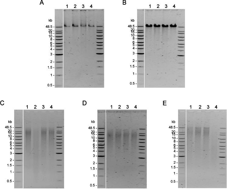 Quality assessment of genomic DNA of shrimp muscle extracted with different DNA extraction methods. After purified by AMPure PB bead, gDNA (n=4) extracted from (A) CTAB method (100 ng  of gDNA), (B) QIAGEN Genomic-tip 100/G kit (100 ng of  gDNA), (C) E.Z.N.A. ® Mollusc DNA Kit (200 ng of  gDNA), (D) TIANamp Marine Animals DNA kit (100 ng of gDNA) and (E) Sbeadex livestock kit (200 ng of  gDNA) were loaded on 0.75% pulsed-field gel electrophoresis and run at 80 Volts for 9 h. The DNA size marker is Quick-Load 1 kb Extend DNA Ladder (New England BioLabs).