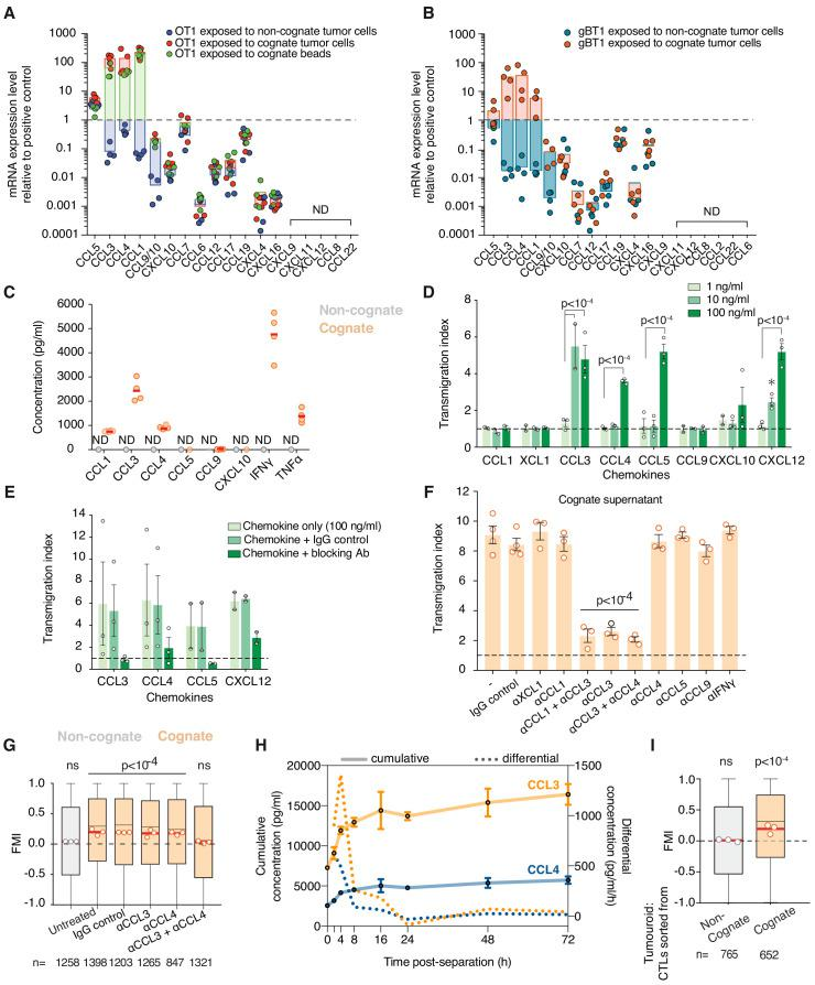CCL3 and CCL4 are upregulated and secreted by activated CTLs and mediate homotypic recruitment. ( A, B ) Quantification of chemokine mRNA levels by qRT-PCR in OT1 ( A ) or gBT1 ( B ) CTLs exposed to H-2K b /SIINFEKL cognate beads, or cognate SIINFEKL- or SSIEFARL-pulsed EL4 respectively, or non-cognate unpulsed EL4 tumour cells, as indicated. Data is normalised to universal mouse cDNA (positive control). Data points from four independent experiments; bars indicate mean. ND: not detected. ( C ) Quantification of absolute chemokine concentration detected in non-cognate and cognate OT1 supernatants by ELISA (for CCL1 and CCL9) or CBA (for CCL3, CCL4, CCL5, CXCL10, IFN-γ, and TNF-α). Data points from four independent experiments; red lines indicate mean. ND: not detected. ( D ) Transmigration of OT1 CTLs towards basal medium containing indicated concentrations of recombinant chemokine. Data normalised to basal medium (dashed line). Data points from <t>three</t> independent experiments; bars indicate mean. Error bars represent standard deviation. p- values are displayed when means are significantly different compared to the 1 ng/ml condition. ( E ) Transmigration of OT1 CTLs towards chemokine-containing basal medium in the presence of corresponding neutralising antibodies or isotype (IgG) control antibody. Data points from four independent experiments; bars indicate mean. Error bars represent standard deviation. ( F ) Transmigration of CTLs towards cognate supernatant in the presence of neutralising antibodies or IgG isotype control. Data normalised to basal medium (dashed line). Data points from at least three independent experiments; bars indicate mean. Error bars represent standard deviation. p-values are displayed when means are significantly different to both the negative control and the IgG isotype control conditions. ( G ) FMI of OT1 CTLs adjacent to tumouroids containing non-cognate or cognate tumour cells with pre-embedded tumour-reactive CTLs in the presence of