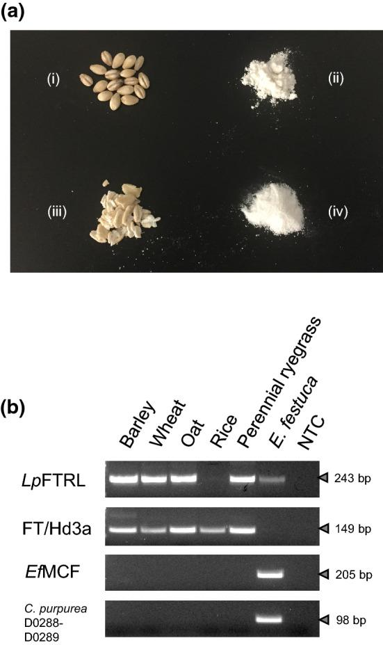 PCR-based detection of Lp FTRL-related gene from retail products. ( a ) Retail products of barley (i), wheat (ii), oat (iii), and rice (iv). ( b ) PCR assay results were visualised on an agarose gel, using the primers designed for Lp FTRL. The size (bp) of PCR amplicons is indicated on the right side of each image. As a control experiment, PCR primers for the florigen candidate gene (FT in wheat and barley, and Hd3a in rice) were used. For demonstration of absence of Epichloë and Claviceps species in the retail products, PCR primers specific to the fungal species (EfMCF_F and R, and C.purpurea_D0288F and D0289R) were used. The gDNA samples from the perennial ryegrass genotype Impact 04 and E. festucae were used, as positive controls for amplification with the plant and fungus-specific primers, respectively. With the PCR primers specific to Claviceps species, amplification from E. festucae gDNA template was observed, presumably due to sequence similarity between Epichloë and Claviceps species. 'NTC' stands for 'no DNA template control'.