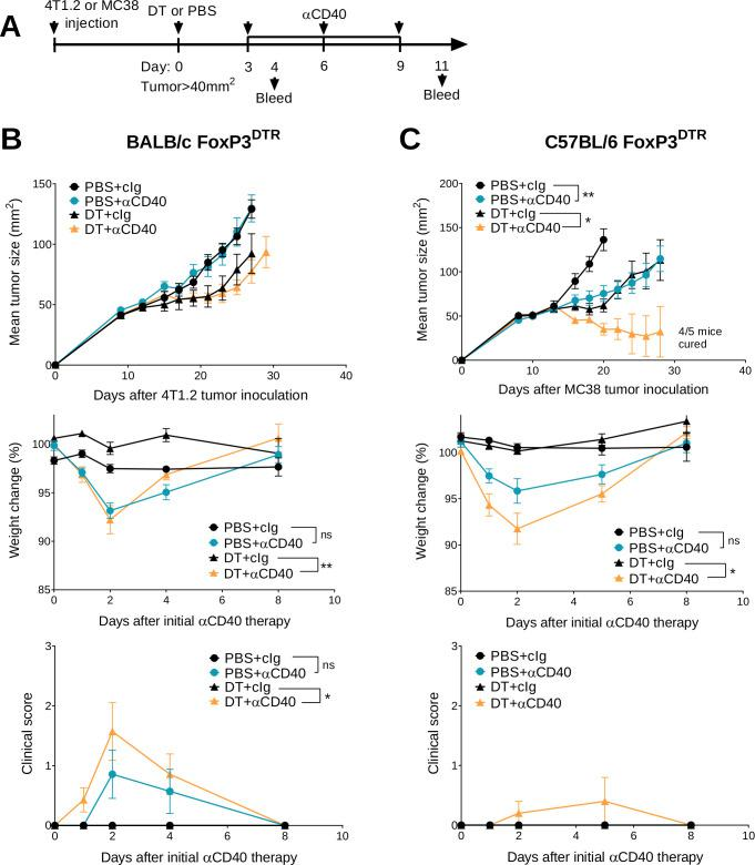 Transient Treg depletion and anti-CD40 treatment display different therapeutic index against established MC38 and 4T1.2 tumors. (A) Schematic representation of the treatment protocol. (B) BALB/c or (C) C57BL/6 FoxP3 DTR mice were injected with 1×10 5 4T1.2 or 1×10 6 MC38 tumor cells, respectively. When tumors reached a mean size of 40 mm 2 , mice were treated intraperitoneally (i.p.) with PBS or DT and 3 days later treated i.p. with control IgG (cIg) or anti-CD40. Antibody treatment continued for two more doses given 3 days apart. Mean tumor size (mm 2 ) with their corresponding weight change and clinical score are shown. Data representative of two experiments (n=5–7/group; mean±SEM). Mice were monitored for tumor growth and development of irAEs and euthanized when tumor size or clinical signs of illness reached cumulative ethical limits. Statistical comparisons between tumor sizes were performed with Mann-Whitney U test analysis at the final measurement of the PBS+ CIg-treated group, while a Kruskal-Wallis test with Dunn's post hoc analysis was used to compare weight change and clinical score between the indicated groups (at day 2), *p