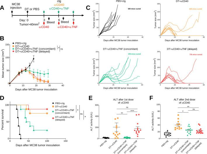 Delayed anti-TNF reduces irAEs while maintaining antitumor efficacy in DT+ anti-CD40 treated MC38 tumor-bearing mice. (A) Schematic representation of the treatment protocol. C57BL/6 FoxP3 DTR mice were injected s.c. with 1×10 6 MC38 tumor cells. When tumors reached a mean size of 40 mm 2 , mice were treated i.p. with PBS or DT and 3 days later treated i.p. with cIg, anti-CD40 or anti-CD40+anti TNF (concomitant), for three doses given 3 days apart. In one group, anti-TNF treatment (delayed) was given at the time of the second dose of anti-CD40 and then given for one more dose. (B) Mean tumor size represented as mean±SEM (n=8/group). (C) Individual tumor growth curves of the indicated groups. Data representative of two experiments. (D) Corresponding survival curves. Statistical comparisons between tumor sizes and survival curves were performed with Mann-Whitney analysis at the final measurement of the PBS+ CIg-treated group or log-rank analysis, respectively, *p