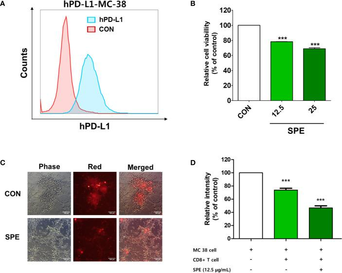 Cytotoxic and T-cell-mediated killing effect of SPE on colorectal cancer cells. (A) PD-L1 expression on the surface of humanized PD-L1-expressing MC38 cells (hPDL1-MCs) was determined using flow cytometry. (B–D) To measure the immunological activity of SPE, hPDL1-MCs (target cells) were co-cultured with humanized PD-1 mouse splenocytes (B, C) and CD8+ T-cells from the tumor (D) (hPD1-MSs; effector cells) at an effector cell-to-target cell ratio of 5:1 and were treated with SPE or 50% DMSO (control). (B) After 72 h of incubation, surviving hPD1-MSs in a 96-well plate underwent the CCK assay to assess cell viability. (C) Co-cultured CellTrace™ Far Red-labeled hPDL1-MCs were treated with SPE (25 μg/mL) or 50% DMSO (control), and the findings were compared with those in the absence of effector cells. The images were obtained under a fluorescence microscope. (D) The cytotoxicity of CD8+ T-cells against hPD-L1-MCs at an effector cell-to-target cell ratio of 5:1 was analyzed using an LDH assay kit (percentages calculated according to kit instruction). ***P