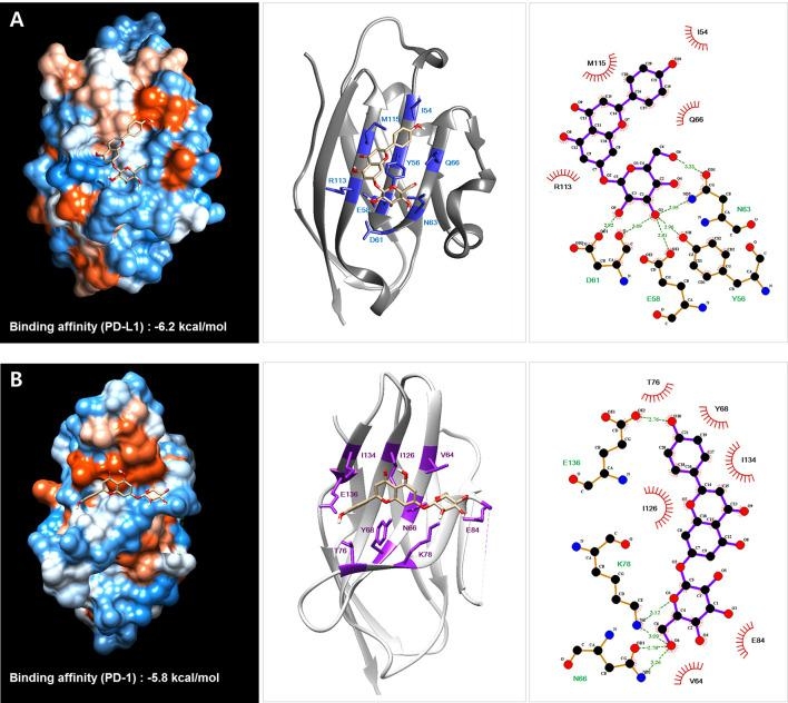 Protein–ligand docking simulation between PD-L1 (A) /PD-1 (B) and the Salvia plebeia R. Br. ethanol extract (SPE) component cosmosiin. Binding models were obtained through docking simulation of cosmosiin on PD-L1 and PD-1 derived from the PD-1/PD-L1 complex (PDB code 4ZQK) using AutoDock Vina. The hydrogen bonds and hydrophobic interactions between PD-L1/PD-1 and cosmosiin were analyzed using LigPlot+.