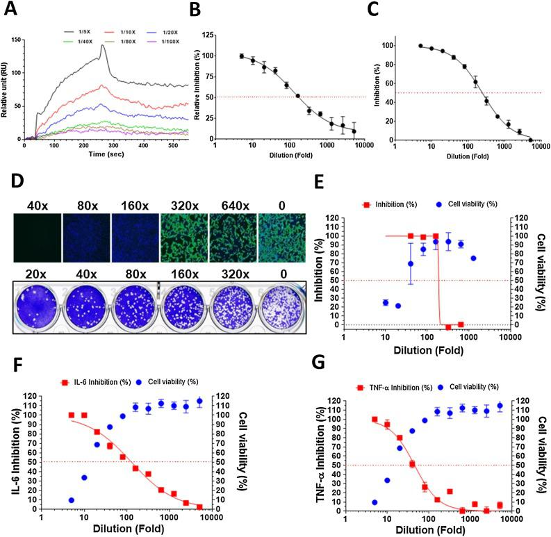 Pharmacological data of NRICM101. ( A ) Binding reactivity of the NRICM101 to spike RBD protein were determined by SPR. The serially diluted decoctions (1/5X, 1/10X, 1/20X, 1/40X, 1/80X, and 1/160X) were prepared in the PBS buffer as the analysts for analysis. ( B ) Interaction of spike RBD to the ACE2 was inhibited by serially diluted NRICM101 in the ACE2-spike protein inhibition ELISA. The inhibition percentage was determined according to the binding signal normalized to the interaction of spike RBD to the ACE2 without NRICM101 treatment. ( C ) NRICM101 inhibited SARS-CoV-2 3CL protease activity. Serial dilutions of the decoction were used to investigate NRICM101′s inhibitory activity against 3CL protease. ( D ) Anti-SARS-CoV-2 data of the immunofluorescent assay (IFA, upper) and plaque reduction neutralization test (PRNT, lower). ( E ) The data of CCK-8 cell viability and viral infection in IFA. ( F , G ) NRICM101 inhibited LPS-induced expression of IL-6 and TNF-α in murine alveolar macrophages. The data represented as mean ± SD from three independent experiments. 50 % inhibition concentration (IC 50 ) and 50 % cytotoxic concentration (CC 50 ) were calculated by Prism software. The red dots indicate 50 % inhibition; the data represented as mean ± SD from three independent experiments.