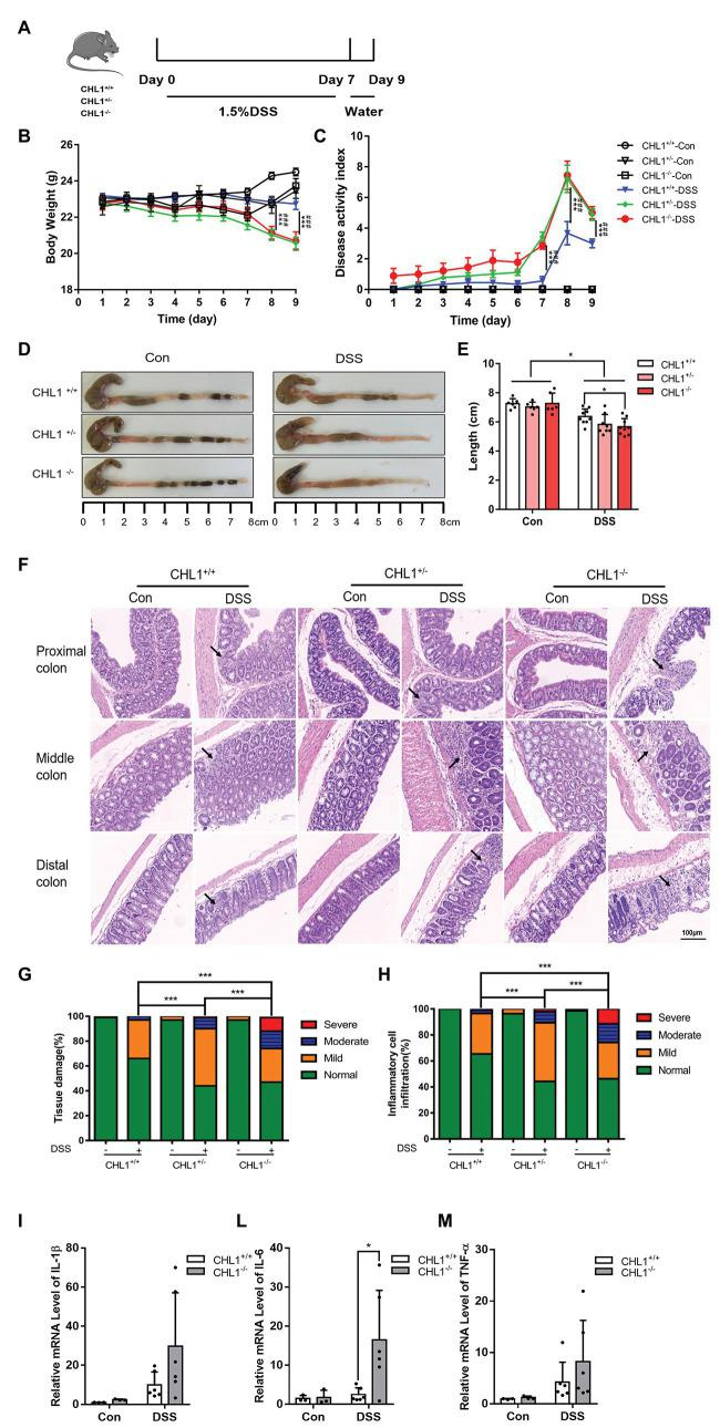 (Continued)FIGURE 2CHL1 deficiency augmented DSS-induced colitis in mice. (A) DSS-induced acute colitis mouse model. CHL1 +/+ , CHL1 +/− , and CHL1 −/− mice had ad libitum access to sterile drinking water containing 1.5% DSS for 7 days, followed by normal drinking water for 2 days. The mice were euthanized on the 9th day after the initiation of DSS treatment. (B,C) Body weight loss and the disease activity index score in DSS-exposed CHL1 +/+ , CHL1 +/− , and CHL1 −/− mice (DSS-induced CHL1 +/+ group vs. DSS-induced CHL1 +/− group, *** p