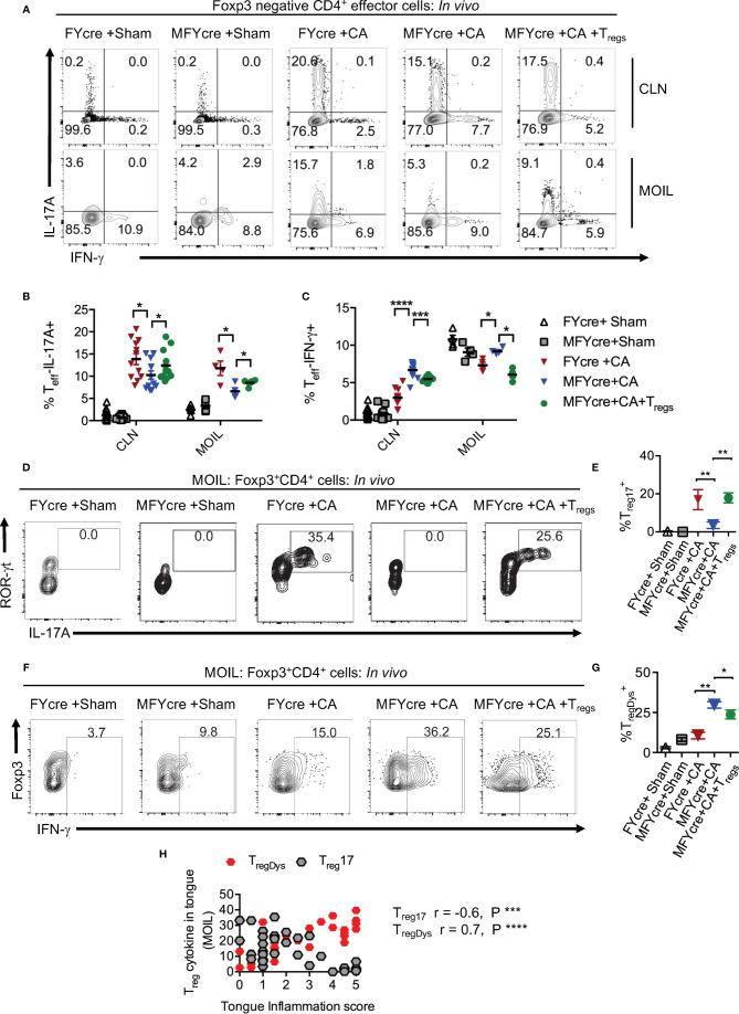 Loss of MyD88 in T regs diminishes IL-17A and increases IFN- γ expression in effector cells and Foxp3 + cells in vivo during oropharyngeal candidiasis (OPC) infection. FYcre and MFYcre mice were infected with sham control or CA as in Figure 2 (n= 4–6/group). On day 3 after infection, cells from cervical lymph nodes (CLN) and mouse oral intra-epithelial and lamina propria leukocytes (MOIL) were restimulated with PMA-ionomycin to assess intracellular proteins. MOIL cells pooled from 2 mice were used for flow cytometric analyses. (A) Flow plots of IL-17A and IFN-γ, gated on CD3 + CD4 + Foxp3 - effector (T eff ) cells. Statistical analyses of T eff IL-17A + (B) , and T eff IFN-γ + (C) . Flow plots of ROR-γt and IL-17A (D) , Foxp3 and IFN-γ, (F) gated on CD3 + CD4 + Foxp3 + T reg cells, and statistical analyses of the proportion of ROR-γt + IL-17A + T regs (% T reg17 ) (E) , and T reg IFN-γ + (% T regDys ) (G) , in different groups are shown. For statistical analyses, data are pooled from two experiments. Each data point represents one mouse in CLN and 2 mice in MOIL. Mean values ± SEM are plotted. (H) Correlation curve was plotted using values from tongue inflammation score, %MOIL T reg 17 and %MOIL T regDys in infected mouse groups. These data represent three independent experiments showing similar results. *P