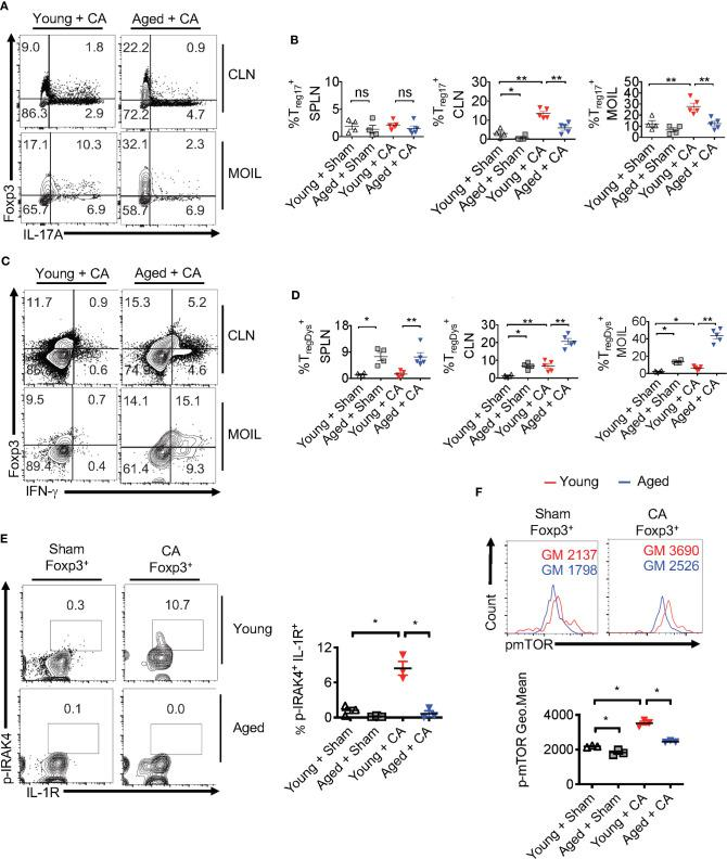 T reg 17 and T regDys alterations are accompanied by loss of IRAK-4 and mTOR activation in T regs in infected aged mice. Young and Aged mice were infected with CA or Sham as in Figure 8 . Flow cytometric analyses of CD3 + CD4 + gated cells for IL-17A and Foxp3 (A, B) , IFN-γ and Foxp3 (C, D) , on day 5 after infection. Statistical analyses of Foxp3 + IL-17A + (% T reg 17) (B) , and Foxp3 + IFN-γ + (% T regDys ) (D) , using data points from (A, B) , respectively. (E, F) Mice were infected for 2 days. Flow cytometry analyses of CD3 + CD4 + Foxp3 + gated cells for p-IRAK and IL-1R ( E , left and right) and p-mTOR ( F , top and bottom) in Foxp3 + T regs . Geometric mean fluorescence intensities (GM) are indicated in the histogram plots. Mean values ± SEM are plotted in statistical analyses. These data show one of four independent experiments showing similar results. (*P