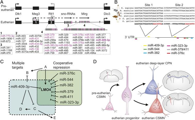 CSMN-enriched miRNAs are encoded at a genomic cluster that coevolved with motor cortex and corpus callosum. ( A ) Schematic of the mouse 12qF1 locus highlighting miRNAs identified as enriched in CSMN (magenta). Meg3, anti-Rtl1, Rian, and Mirg are incompletely characterized genes encoding long RNAs that give rise to the eutherian-specific clustered 12qF1 microRNAs. Dlk1, Rtl1, and Dio3 are protein-coding genes at 12qF1 that are conserved in preeutherian mammals. ( B ) Schematic of the vertebrate LMO4 3′ UTR depicts that the proximal portion (gray) is well conserved among characterized vertebrate LMO4 mRNAs, whereas the distal portion of the eutherian LMO4 3′ UTR (black) is absent from all characterized chicken LMO4 mRNAs and all marsupial LMO4 genes. The positions of predicted CSMN-enriched 12qF1 miRNA target sites, concentrated in the distal/eutherian portion of the LMO4 3′ UTR, are indicated by colored bars. Multiple sequence alignments illustrate that miR-409-3p site 1 is well conserved among vertebrates, whereas site 2 appears to be well conserved only among eutherians. Predicted mRNAs are italicized; characterized mRNAs are not italicized. ( C ) Individual miRNAs repress multiple targets, and clustered miRNAs cooperatively repress shared targets. Six CSMN-enriched 12qF1 cluster miRNAs, in addition to miR-409-3p, are predicted to cooperatively repress LMO4. ( D ) Model depicting deep-layer CPN and eutherian CSMN derived from ancestral preeutherian CSMN via expansion of gene expression to generate CPN as a new projection neuron subtype, and pruning of this expansion in eutherian CSMN via miRNA-mediated repression of gene expression.