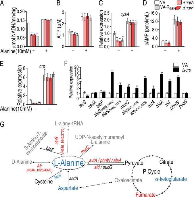 Modulation of alanine metabolism in a <t>cAMP/CRP-dependent</t> manner. (A) Activity of ATPase of V. alginolyticus VA (ATCC 33787), Δ nqrA , and Δ nqrF strains in the presence or absence of 10 mM alanine. (B) ATP level in V. alginolyticus VA (ATCC 33787), Δ nqrA , and Δ nqrF in the presence or absence of alanine. (C) qRT-PCR for cyaA expression of VA, VA-R GEN , Δ nqrA , and Δ nqrF in the presence or absence of alanine. (D) <t>ELISA</t> for the cAMP level of VA, Δ nqrA , and Δ nqrF in the presence or absence of alanine. (E) qRT-PCR for crp expression of VA, VA-R GEN , Δ nqrA , and Δ nqrF in the presence or absence of alanine. (F) qRT-PCR for gene expression of alanine metabolism in Δ crp . (G) Integrative analysis of metabolite abundance (data from Fig. 2A ) and gene expression (data from panel F) in l- alanine metabolism of Δ crp . The blue and red colors denote downregulation and upregulation, respectively. Results in panels A to F are displayed as means ± SEM, and significant differences are identified (*, P