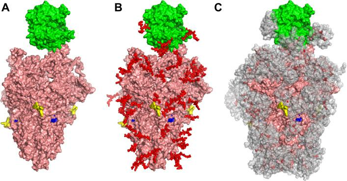 Glycan coverage of Spike-ACE2 co-complex. SARS-CoV-2 Spike protein trimer (pink) bound to ACE2 (green). ( A ) Without glycans. ( B ) With N-glycans (red) identified using LC-MS on Spike and ACE2. ( C ) Molecular dynamics simulation analyzed the range of movement of each glycan. The space sampled by glycans is represented by a gray cloud. Glycans cover the Spike-ACE2 interface. They also surround the putative proteolysis site of furin ('S1-S2', yellow) and S2' (blue).