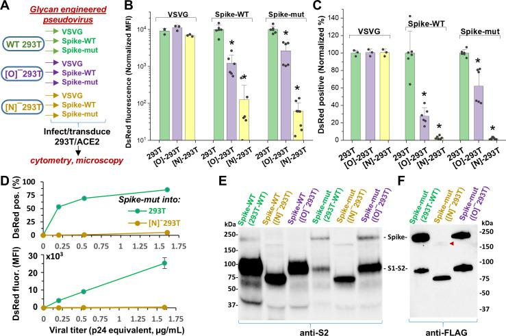 N-glycan modification of SARS-CoV-2 pseudovirus abolishes entry into 293T/ACE2 cells. ( A ) Pseudovirus expressing VSVG envelope protein, Spike-WT and Spike-mutant were produced in wild-type, [O] - and [N] - 293 T cells. All nine viruses were applied at equal titer to stable 293T/ACE2. ( B–C ) O-glycan truncation of Spike partially reduced viral entry. N-glycan truncation abolished viral entry. In order to combine data from multiple viral preparations and independent runs in a single plot, all data were normalized by setting DsRed signal produced by virus generated in wild-type 293T to 10,000 normalized MFI or 100% normalized DsRed positive value. ( D ) Viral titration study performed with Spike-mutant virus shows complete loss of viral infection over a wide range. ( E ) Western blot of Spike protein using anti-S2 Ab shows reduced proteolysis of Spike-mut compared to Spike-WT. The full Spike protein and free S2-subunit resulting from S1-S2 cleavage is indicated. Molecular mass is reduced in [N] - 293T products due to truncation of glycan biosynthesis. ( F ) Anti-FLAG Ab binds the C-terminus of Spike-mutant. Spike produced in [N] - 293Ts is almost fully proteolyzed during viral production (red arrowhead). *p