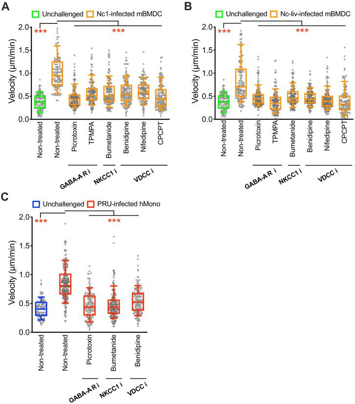 Effect of pharmacological inhibitors of GABA-A Rs, NKCC1 and VDCCs on hypermotility. ( A, B ) Box-and-whisker dot plots show median velocities (μm/min) of mBMDCs challenged with  N. caninum  Nc-1 strain ( A ) and Nc-Liverpool strain ( B ) and treated with GABA-A R inhibitors, NKCC1 inhibitor or VDCC inhibitors as indicated, respectively (n=3 independent experiments). ( C ) Box-and-whisker dot plots show median velocities (μm/min) of hMonocytes challenged with  T. gondii  (PRU) and treated with GABA-A R inhibitor, NKCC1 inhibitor or VDCC inhibitor, respectively (n=3 independent experiments). Statistical significance was assessed by ANOVA with Dunnett's multiple comparison test for ( A, B, C ), ***p
