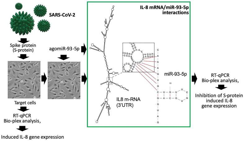 Evaluation of the hypothesis. Induction of IL-8 upregulation can be obtained by exposing cultured in vitro cell lines to the SARS-CoV-2 Spike protein (S-protein). Possible inhibition of IL-8 gene expression can be obtained by transfection of the cells with agomiR molecules (in the example agomiR-93-5p) able to interact with the 3'UTR sequence of IL-8 mRNA (as depicted in the boxed area). Effects on mRNA content and translation (see also Figure 2 for a scheme of the agomiR-mediated effects) can be analyzed by RT-qPCR and ELISA (or Bio-plex approaches).