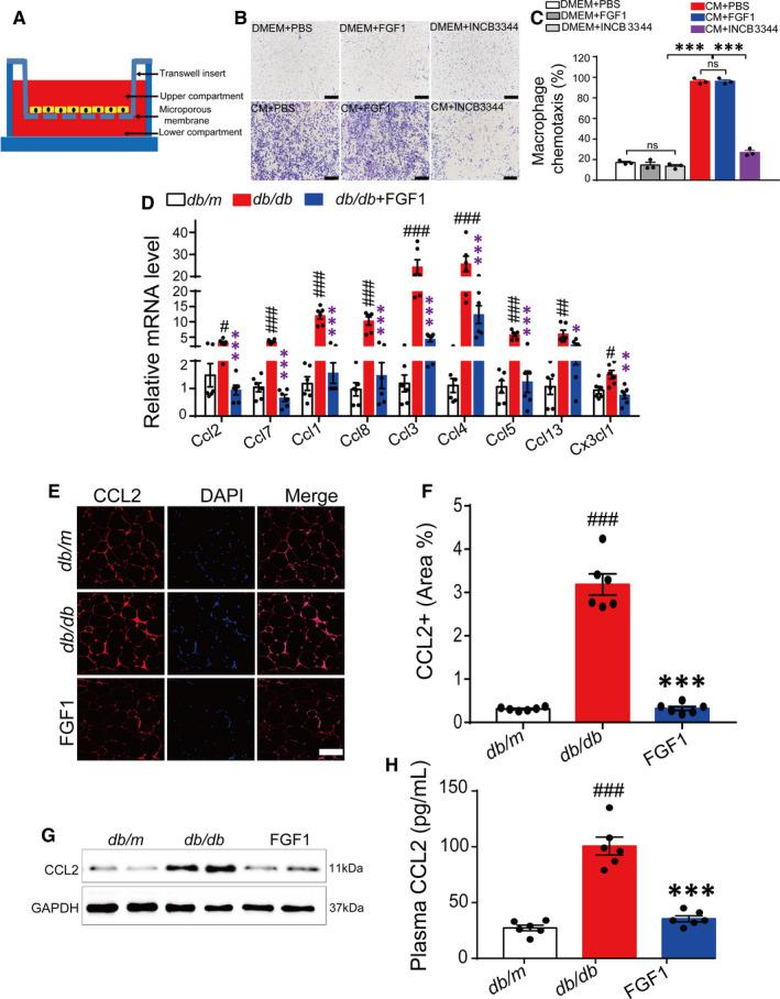 FGF1 inhibits macrophages migration by negatively controlling CCL2 transcription and expression. A, A schematic diagram showing the co‐culture of adipocytes and macrophages in vitro. B and C, The representative image of the effect of FGF1 (100 ng/mL) and INCB3344 (specific inhibitor of CCR2, 100 nmol/L) on 3T3‐L1 CM‐induced chemotaxis of macrophages (B) and the quantitative analysis (C). The image was representative of similar results from three independent experiments. Scale bar represents 1000 μm for 100×. D, The relative mRNA level of chemokines in eWAT of db/db mice after chronic administration of FGF1. E and F, Representative confocal merged images of CCL2 from epididymal adipose tissue of db/db mice, stained with anti‐CCL2 (red) and DAPI (blue), and the data of quantitative analysis of staining of db/db mice was conducted by ImageJ software. G, Western blot analysis of CCL2 in epididymal adipose tissue of db/db mice after treatment with FGF1. H, The plasma CCL2 level of db/db mice after treatment with FGF1. * P