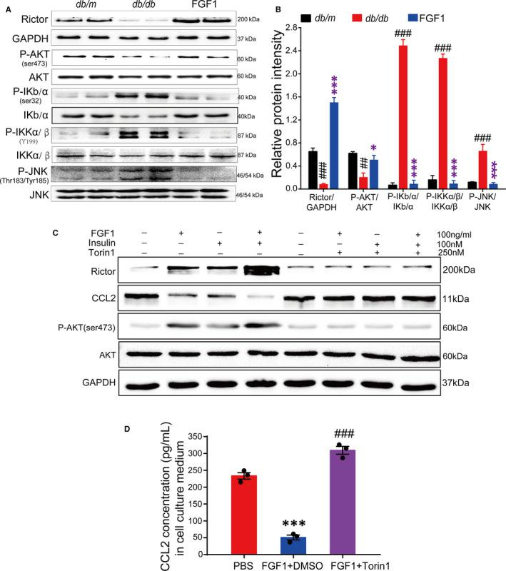 The adipocyte mTORC2 /Rictor mediate the effect of FGF1 on regulating <t>Ccl2</t> expression. A and B, Western blot analyses of the mTORC2/Rictor and inflammation signalling in epididymal adipose tissue of db/db mice after chronic treatment with FGF1, and (B) the densitometric quantification by ImageJ software. Data are presented as mean ± SEM. * P