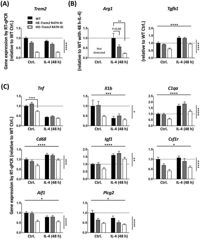 Primary microglia from Trem2 R47H KI mice show decreased Trem2 expression, and an impaired IL-4-induced anti-inflammatory response. ( A ) Expression of Trem2 . ( B ) Expression of anti-inflammatory markers, Arg1 and Tgf1b . ( C ) Expression of other microglial genes . Gene expression was normalized to Rps28 and calculated as fold change relative to the WT control without IL-4 treatment. N = 8–15 mice per genotype. Data shown as mean ± SEM. Two-way ANOVA (for all genes except Arg1 ). Significant main effect of IL-4-treatment and genotype indicated as horizontal and vertical lines respectively, no significant interactions were seen between IL-4-treatment and Trem2 knockdown. Sidak's post hoc tests were performed to test pairwise significance between the three genotypes within a treatment group. Arg1 was analyzed by one-way ANOVA ( P = 0.002) followed by Sidak's multiple comparisons to test pairwise significance between the three genotypes within a treatment group. * P