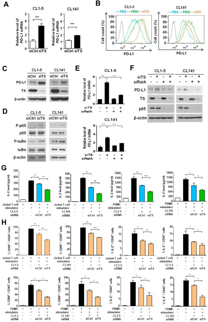 Knockdown of thymidylate synthase (TS) induces programmed death-ligand 1 (PD-L1) expression in non-small-cell lung cancer (NSCLC) cells and decreases the production of interleukin-2 (IL-2) by activated T cells in the NSCLC and T cell coculture system. (A–D), CL1-5 or CL141 cells transfected with control-siRNA (siCtrl) or TS -siRNA (siTS) oligonucleotides were lysed and analyzed by qRT-PCR (A), flow cytometry (B), or immunoblotting (C, D) 72 hours after transfection. Data are shown as means and SD for three independent experiments (n=3). (E, F) CL1-5 or CL141 cells transfected with control-siRNA (siCtrl), TS-siRNA (siTS) and RelA-siRNA (siRelA) oligonucleotides in different combination were lysed and analyzed by qRT-PCR (E) or immunoblotting (F), 72 hours after transfection. (G, H) CL1-5 or CL141 cells were transfected with siCtrl or siTS siRNA oligonucleotides for 24 hours and followed by cocultured with Jurkat T-cells or PBMCs at different cancer to T cell ratios in the presence of the 1×T cell stimulation cocktail for additional 48 hours. (G) IL-2 levels were measured by ELISA. (H) The levels of CD69 and intracellular IL-2 produced by Jurkat T-cells or PBMCs were measured by flow cytometry. **P