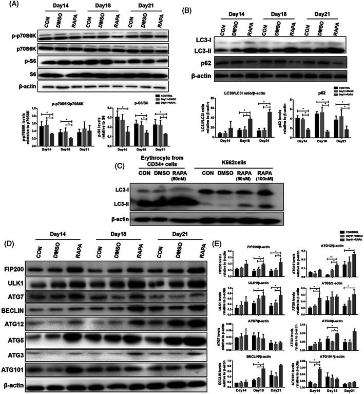 Rapamycin regulates autophagy by inhibiting the mTOR/p70S6K/S6 signaling pathway and activating autophagy genes. Cells were treated with rapamycin from day 11. Blank and DMSO were used as controls. A, Western blot analysis for mTOR signaling proteins (p‐p70S6K [T389], p70S6K p‐S6 [S235/236], and S6) in cells on days 14, 18, and 21. B, Western blot analysis for autophagy markers (LC3 and p62) in cells on days 14, 18, and 21. C, Expression of LC3 in erythroid progenitor cells and K562 cells as determined by western blotting. K562 cells were treated with different concentrations of rapamycin and harvested after 48 hours. D, Western blot analysis for autophagy‐related proteins (FIP200, ULK1, ATG7, ATG12, ATG5, BECLIN, ATG3, and ATG101) in cells on days 14, 18, and 21. E, Protein expression was quantified by densitometry and normalized to β‐actin expression. Data are the mean ± SD of technical triplicates from one of several independent experiments. * P