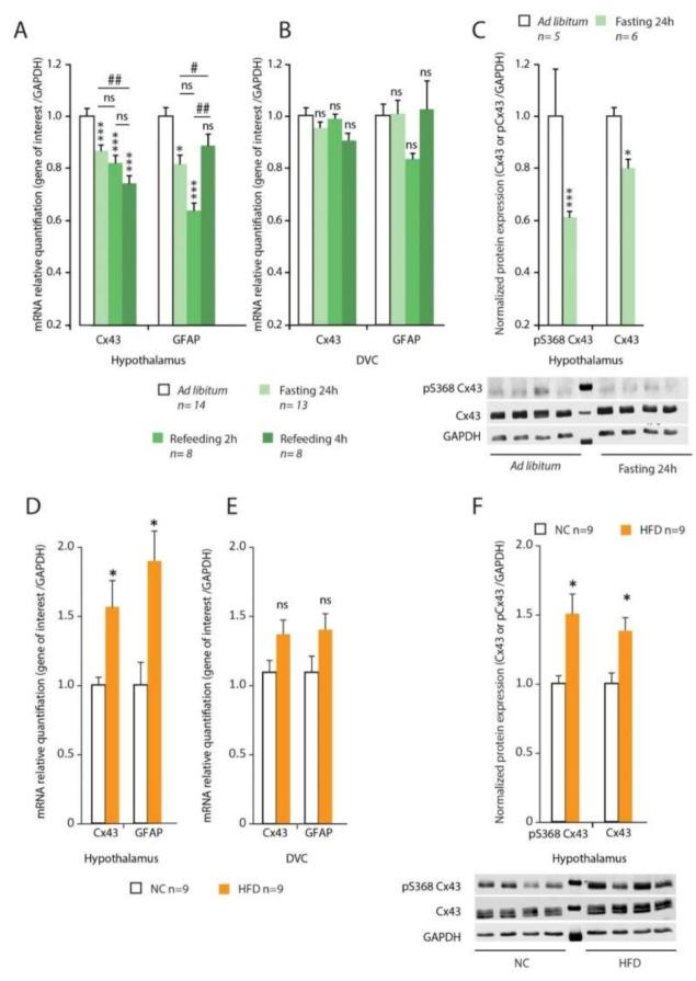 ( A , B ): Connexin-43 (Cx43) and Glial Fibrillary Acidic Protein (GFAP) mRNA expression (normalized with Glyceraldehyde-3-phosphate dehydrogenase gene, GAPDH) was assessed by reverse transcriptase quantitative polymerase chain reaction (RT-qPCR) from the hypothalamus ( A ) and dorsal vagal complex (DVC) ( B ) of control ad libitum ( n = 14), 24 h fasted ( n = 13), 24 h fasted plus 2 h refeed ( n = 8) or plus 4 h refeed ( n = 8) mice. ( C ): Representative Western blot analysis of phosphorylated Cx43 (pS368) and Cx43 expression in the hypothalamus of control ad libitum ( n = 5) and 24 h fasted ( n = 5) mice. ( D , E ): Cx43 and GFAP mRNA expressions (normalized with GAPDH) were assessed by Reverse Transcription quantitative Polymerase Chain Reaction (RT-qPCR) from the hypothalamus ( D ) and dorsal vagal complex (DVC) ( D ) of Normal Chow (NC) ( n = 9) and High Fat Diet (HFD) fed ( n = 9) mice. ( F ): Representative Western blot analysis and quantification of phosphorylated Cx43 (pS368) and Cx43 expression in the hypothalamus of NC ( n = 9) and HFD-fed ( n = 9) mice. A two-way analysis of variance test was performed between different experimental groups * p