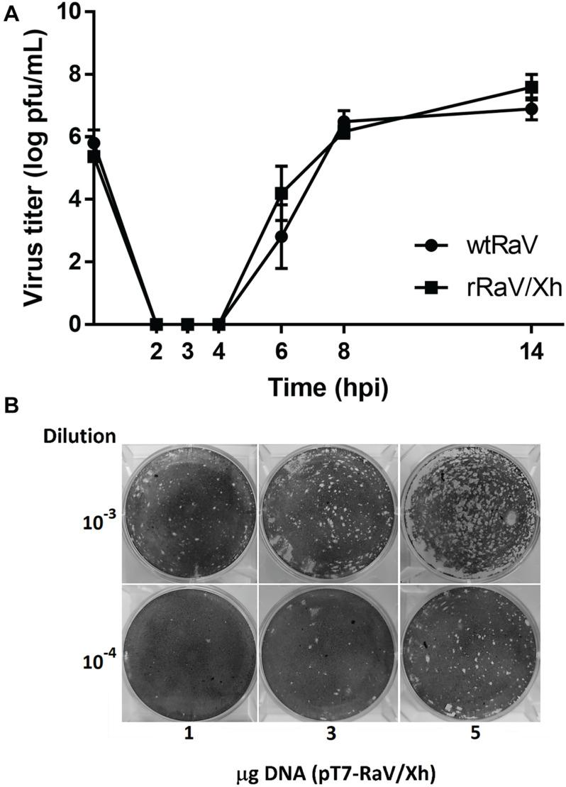 (A) One-step growth curves of wtRaV and rRaV/Xh in Vero cells infected at MOI = 10 and incubated for 14 h. No significant statistical differences were found between both viral titers within each time point (Student's t -tests, p > 0.05). (B) Effect of the DNA amount used in transfection (passage 0) over the titer of viruses recovered in passage 1 supernatants. Transfections were performed in 6-well plates with either 1, 3, or 5 μg of the infectious cDNA clone. For each DNA quantity used in passage 0, plaque assay wells inoculated with the corresponding passage 1 supernatant dilutions 10 –3 and 10 –4 are shown.