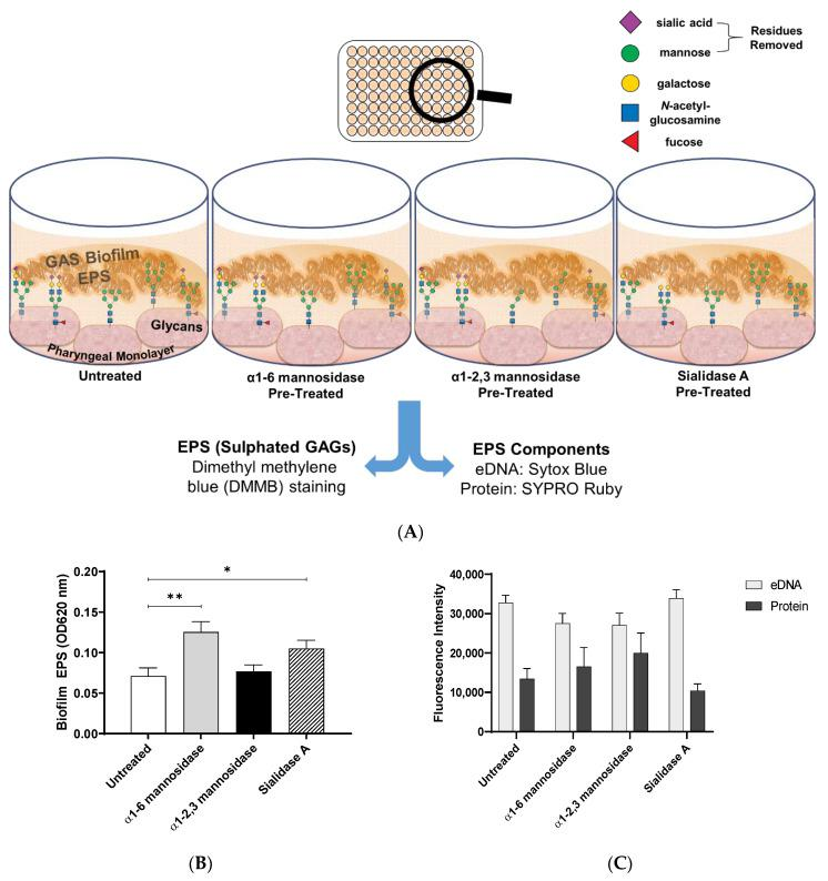 Biofilm EPS increases significantly for biofilms formed on α1-6 mannosidase and Sialidase A pre-treated pharyngeal cell surfaces. ( A ) Assay schematic for the assessment of biofilm EPS resulting from biofilm formed on each of the exoglycosidase (α1-6 mannosidase, α1-2,3 mannosidase, and Sialidase A) pre-treated pharyngeal monolayers vs. untreated. 72 h biofilms were assessed for ( B ) EPS via DMMB staining of sulphated GAGs and ( C ) EPS associated components (eDNA and protein) via fluorescent staining with Sytox Blue and FilmTracer SYPRO Ruby biofilm matrix stain, respectively. Data represents mean ± SEM, with statistical analysis performed using a one-way ANOVA with Tukey's multiple comparisons test * ( p ≤ 0.05) and ** ( p ≤ 0.01); n = 3 biological replicates, with 3 technical replicates each.