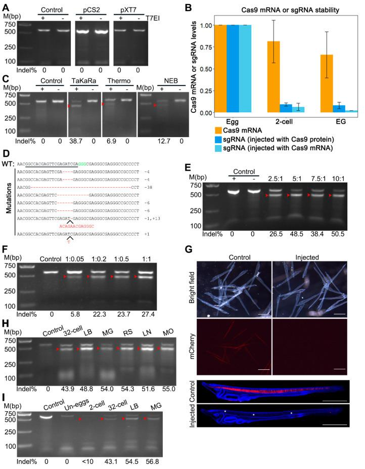 Detection of CRISPR/Cas9-induced mutations at the  mCherry  locus in  mylz2-mCherry  transgenic amphioxus. ( A ) T7EI cleavage assay showing no detectable mutation in uninjected embryos (control), or embryos injected with  mCherry -sgRNA and  Cas9  mRNA transcribed from pXT7-Cas9 (pXT7) or pCS2-nls-zCas9-nls (pCS2) plasmids. —means no T7 endonuclease I was added and + means T7 endonuclease I was added. ( B ) RT-qPCR analysis of  Cas9  mRNA and  mCherry -sgRNA expression in embryos injected with Cas9 protein and  mCherry -sgRNA or  Cas9  mRNA and  mCherry -sgRNA. Samples were collected and examined at unfertilized egg (egg), two-cell (2-cell) and early gastrula (EG) stages. ( C ) T7EI cleavage assay showing no detectable mutation in uninjected embryos (control) and different levels of mutations in embryos injected, respectively, with  mCherry -sgRNA and each of the three commercial Cas9 protein (TaKaRa, Thermo and NEB). —means no T7 endonuclease I was added and + means T7 endonuclease I was added. ( D ) Mutations were detected using DNA sequencing in the injected embryos. The wild-type (WT) reference sequence is shown on the top. The underlined sequence is the target site and GGG (green) is the PAM sequence. Deletion is shown by the dashed line and insertion is highlighted by inserted letters. Indels (+, insertion; –, deletion) are listed on the right of each allele. ( E ) Mutation efficiencies in embryos injected with different molar ratios of TaKaRa Cas9 to  mCherry -sgRNA in which the amount of Cas9 protein was kept constant while that of  mCherry -sgRNA was different. ( F ) Mutation efficiencies in embryos injected with different molar ratios of TaKaRa Cas9 to  mCherry -sgRNA in which amount of  mCherry -sgRNA was kept constant while that of Cas9 protein was different. Red arrowheads in panels C, E, F, H and I mark bands released by T7 endonuclease I digestion. ( G ) Observation of red fluorescent signal in two-day transgenetic larvae. In contrast to uninjected (