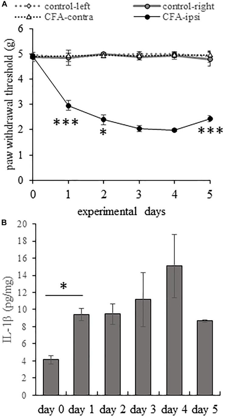 During the course of CFA-induced inflammatory pain IL-1β production correlates with enhanced mechanical pain sensitivity. (A) Line chart shows the mean mechanical withdrawal threshold (MWT) values on both hind limbs of control animals and animals receiving CFA injection into the right (ipsilateral) hind paw. Note that MWT values appeared to be remarkably stable throughout the entire length of the experimental period in control animals and in the untreated left (contralateral) hind paw of animals receiving CFA injection. However, CFA injection resulted in a significant drop in MWT values in the ipsilateral hind paw of animals on experimental days 1–4. Mechanical pain sensitivity peaked on post-injection day 3 and 4. Data are presented as mean ± SEM. (One way ANOVA, ∗∗∗ p