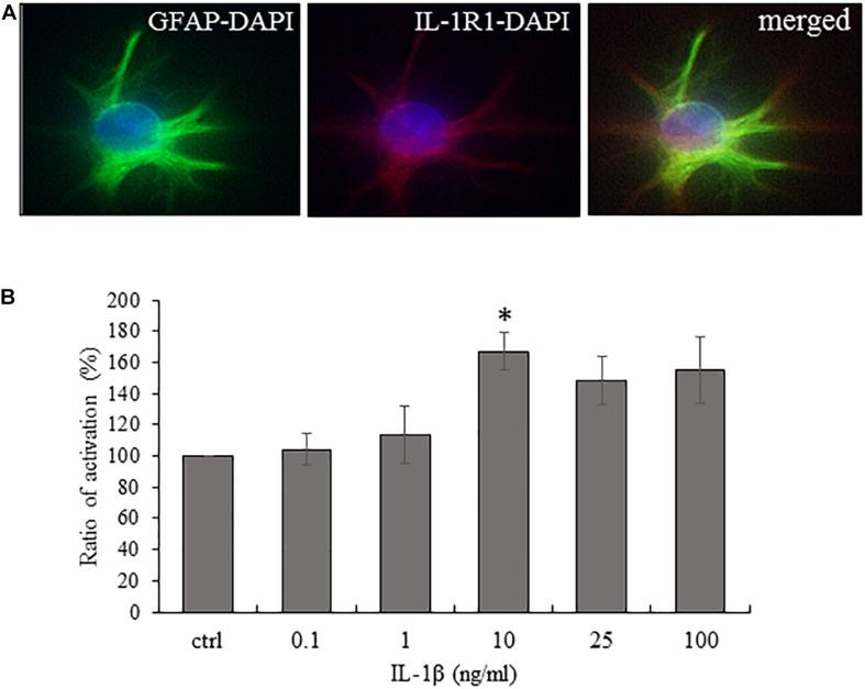 Cultured spinal astrocytes express IL-1R1 and their activity is significantly increased upon IL-1β stimulation. (A) Cultured spinal astrocytes express the ligand binding unit or IL-1 receptor (IL-1R1). Micrographs of fluorescent images illustrating co-localization between GFAP astrocytic marker (a,c; green) and IL-1R1 (b,c; red). Panel a–c represent control cultures. Mixed colors (yellow) on the superimposed image (c) indicate double labeled structures. On all images DAPI was used to label cell nuclei (blue). (B) Dose-dependent (1–100 ng/ml) enhancement of astrocytic activity by IL-1β was determined by MTT assay after 24 h of treatment. Quantification of MTT activity is presented as fold change over the control cells in percentage. Data are shown as mean ± SEM of three independent experiments in duplicate assay (ANOVA Repeated Measures, followed by Tukey's pairwise comparison ∗ p