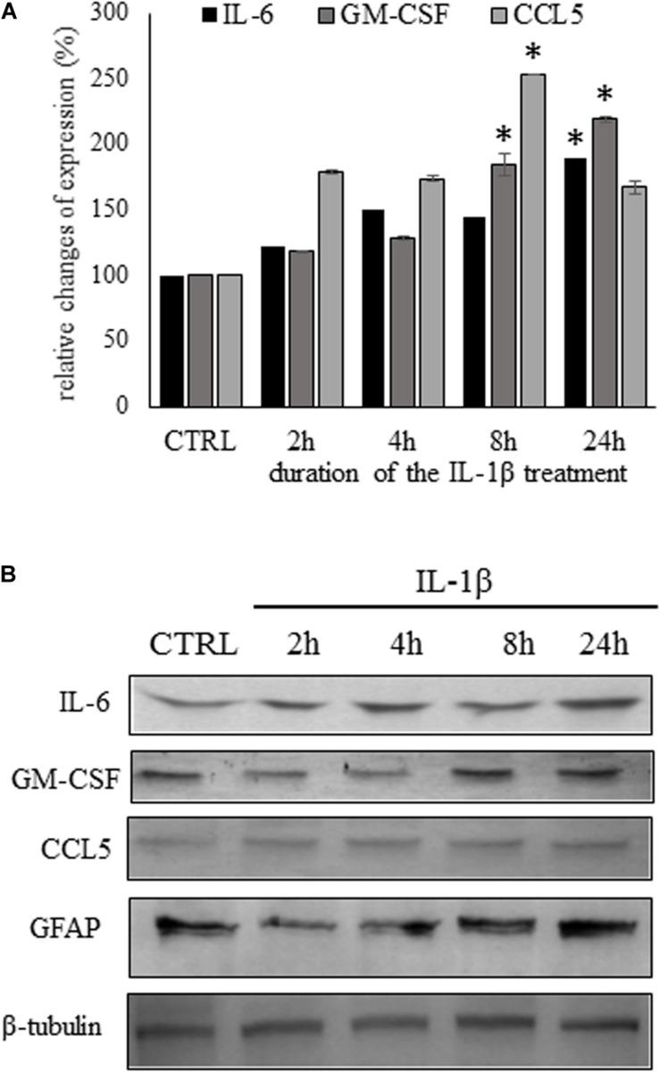 Time course experiments show different kinetics of cytokine secretion due to IL-1β stimulation. (A) Secretion of pro inflammatory cytokines was significantly increased in the supernatant of IL-1β stimulated astrocytes by ELISA experiments. Data are shown as mean ± SEM of three independent experiments in duplicate assay. ANOVA Repeated Measures, followed by Tukey's pairwise comparison, ∗ p