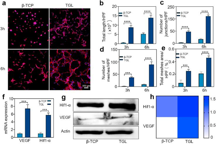 The vascularization studies of β - TCP and TGL scaffolds in vitro . (a) Endothelial network formation of HUVECs at 3 and 6 h after cell culture. (b – e) The differences of total length (b), number of junctions (c), number of meshes (d) and total meshes area per high power field (HPF) were analyzed. (All the above pictures were taken by laser scanning confocal microscope. Two-way ANOVA was used; ***, p