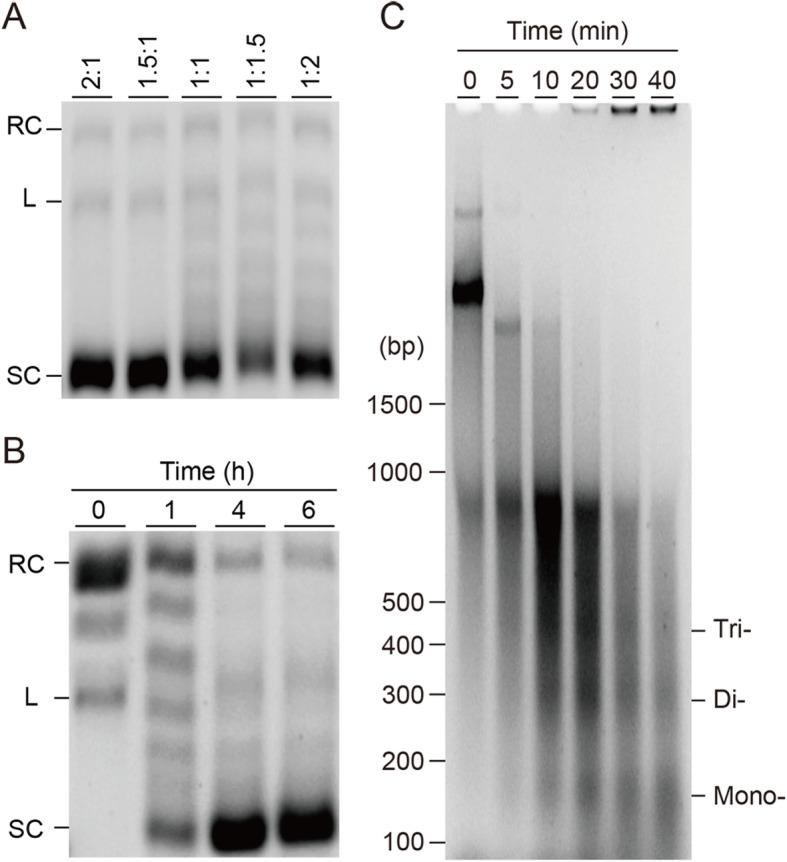 DNA supercoiling and MNase assays of Drosophila chromatin assembly reactions. a Determination of the appropriate ratio of DmH2A/DmH2B and DmH3/DmH4 mRNAs in the Drosophila chromatin reconstitution reaction. The incubation time was 4 h. Supercoiling assay was performed, samples were analyzed by 0.8% agarose TBE gel. Relaxed, linear, and supercoiled plasmid DNAs are indicated as RC, L, and SC, respectively. b Supercoiling assay of assembled Drosophila chromatin under the indicated reaction time 0, 1, 4, and 6 h, where 0 indicated the reconstitution reaction in the absence of mRNAs encoding histones. Supercoiling assay was performed, samples were analyzed by 0.8% agarose TBE gel. c Partial MNase digestion was performed on assembled Drosophila chromatin for the indicated time (0, 5, 10, 20, 30, and 40 min), then samples were run on 2.0% agarose gel. Bands corresponding to digestion fragment of the mono-, di-, and trinucleosomes were detected and indicated. Agarose gels were visualized by ethidium bromide and UV light. Mr: DNA molecular weight marker