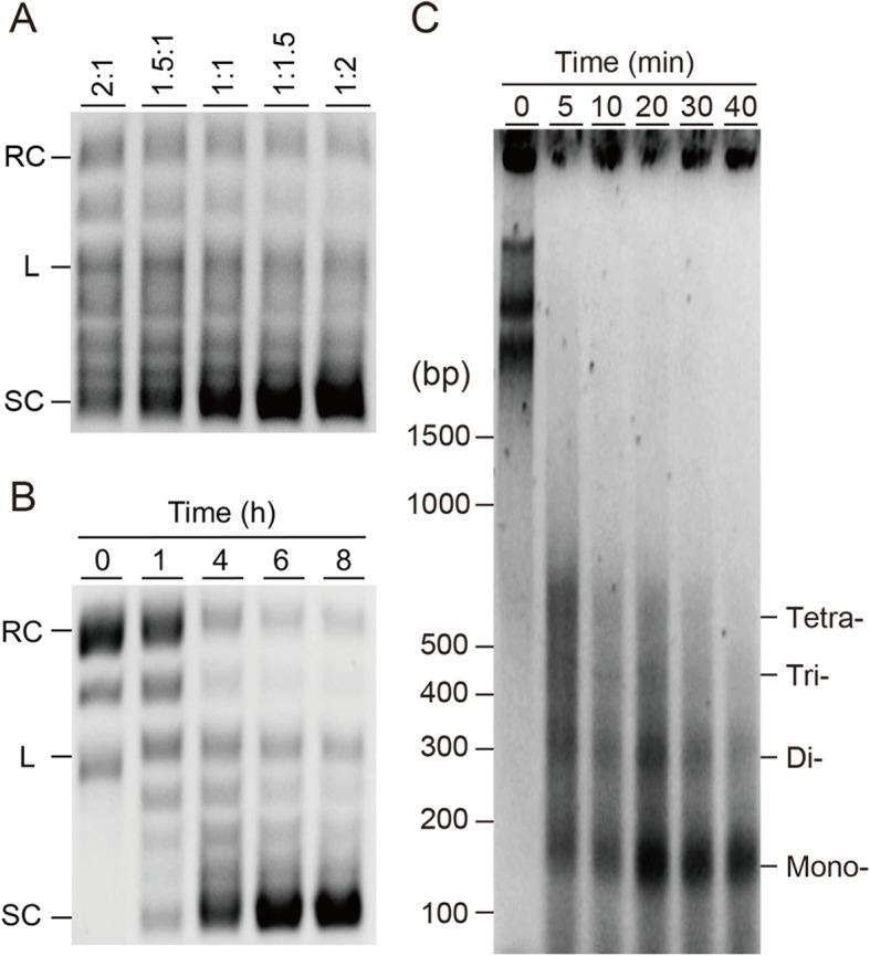 Optimization and confirmation of human chromatin assembly reaction. a DNA supercoiling assay to optimize the ratio of HsH2A/HsH2B and HsH3.1/HsH4 mRNAs in the chromatin reconstitution reaction for 4 h. b Supercoiling assay of assembled human chromatin. Incubation time indicated with 0, 1, 4, 6, and 8 h, where 0 indicated the reconstitution reaction in the absence of mRNAs encoding histones. Supercoils were analyzed by 0.8% agarose <t>TBE</t> gel. Relaxed, linear, and <t>supercoiled</t> DNA are indicated as RC, L, and SC, respectively. c Partial MNase digestion of assembled human chromatin, then samples were run on 2.0% agarose gel. Reconstituted chromatin was digested by MNase for the indicated time (0, 5, 10, 20, 30, and 40 min), and bands corresponding to digestion fragment of the mono-, di-, tri- and tetranucleosome were indicated. Mr: DNA molecular weight marker