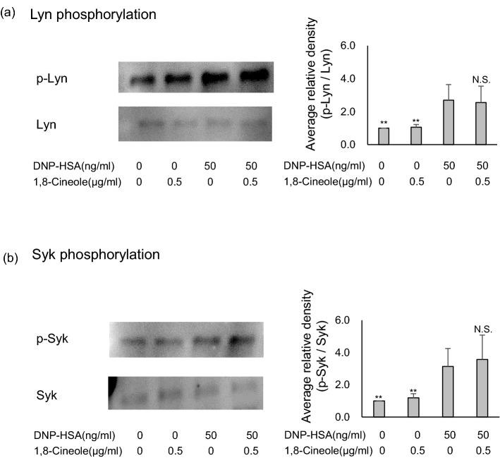 Effect of 1,8-cineole on the phosphorylation of Syk and Lyn. ( a , b ) Eucalyptus oil or 1,8-cineole was applied to BMMCs sensitised with anti-DNP-IgE 24 h before stimulation with DNP-human serum albumin, and then after 10 min, cells were lysed, separated by SDS-PAGE and immunoblotted to analyse p-Syk, Syk, p-Lyn and Lyn expression. The left side presents representative examples of blots for each protein, and the right bar graphs present the phosphorylation relative ratios for Syk and Lyn.Phosphorylation ratios were calculated relative to Syk and Lyn expression (each set as 1), and data are presented as the mean ± SEM of 4–6 independent experiments. Dunnett's test was used to assess the statistical significance (** P