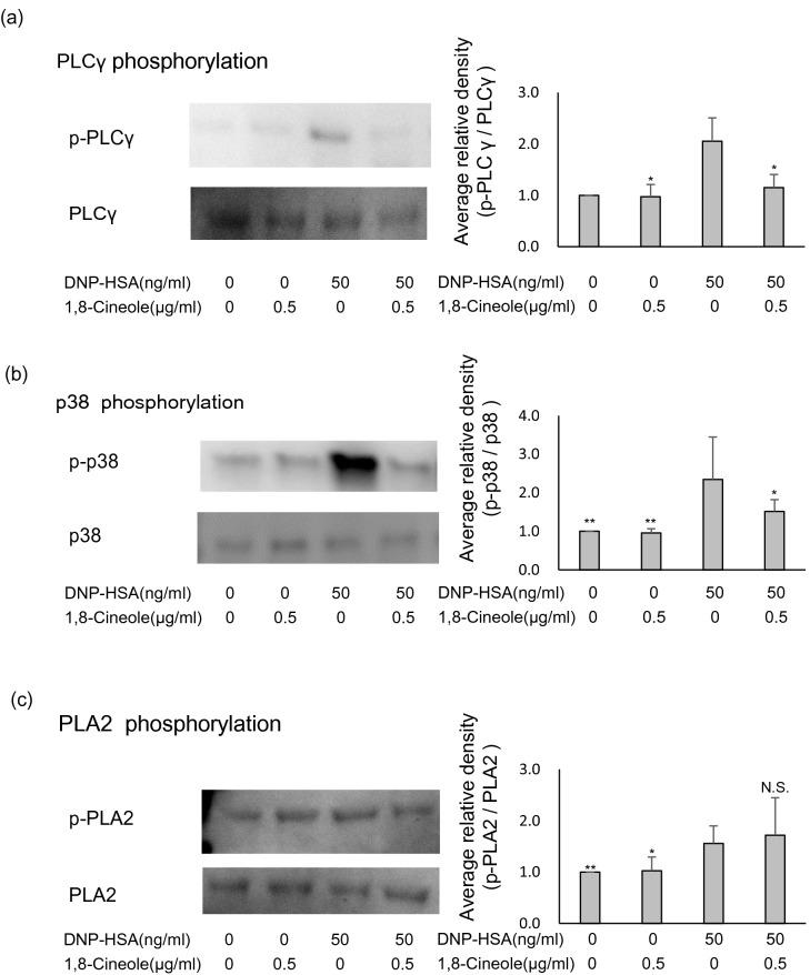 Effect of 1,8-cineole on the phosphorylation of PLCγ, p38 and phospholipase A2 (PLA2). ( a – c ) 1,8-cineole was applied to bone-marrow-derived mast cells (BMMCs) after sensitisation with anti-DNP-IgE for 24 h, and cells were subsequently stimulated with DNP-human serum albumin (HSA). After 10 min, the cells were lysed, and SDS-PAGE was performed. Proteins were separated, and p-PLCγ, PLCγ, p-p38, p38, p-PLA2 and PLA2 expression was examined via immunoblotting. The left side presents representative blots for each protein, and the right bar graphs show the relative ratios of PLCγ, p38 and PLA2 phosphorylation. Phosphorylation ratios were calculated relative to PLCγ, p38 and PLA2 expression (each set as 1), and data are presented as the mean ± SEM of 4–6 independent experiments. Dunnett's test was used to assess the statistical significance (** P