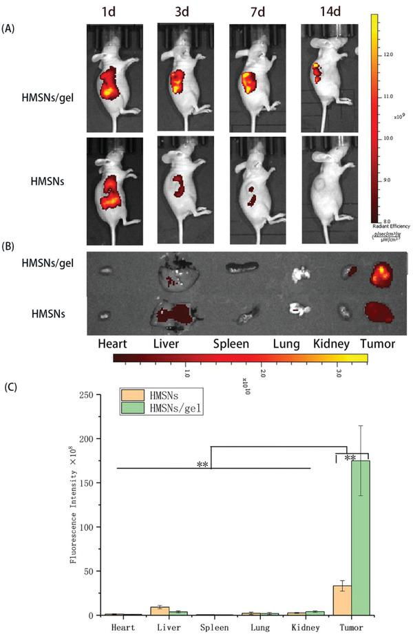 """In vivo biodistribution and retention studies by NIR imaging. A) The NIR real‐time images of A549 xenograft models after i.t. injection of DiR@HMSNs formulation and DiR@HMSNs/hydrogel composite at 1st, 3rd, 7th, and 14th days B) with the NIR images of ex vivo tumors and mean organs on 14th day after the initial injection; C) Quantitative analysis was conducted to determine the fluorescence in ex vivo mean organs and tumors. All quantitative data are given as mean ± SD ( n = 3). """"**"""" means p"""