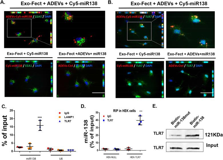 ADEV miR‐138 interacts with murine TLR7 in the endosomes. (A) Representative fluorescence images of mouse primary microglial cells incubated with Exo‐Fect+ADEVs+Cy5‐miR138 or Exo‐Fect+Cy5‐miR138 (without ADEVs) or Exo‐Fect+ADEVs+miR138 (unstained) for 30 min followed by immunostaining of (A) an early endosome marker (EEA1, Green) and (B) TLR7 (Green). Exo‐fect+ADEVs+Cy5‐miR138, Cy5‐miR138 were loaded into ADEVs using by Exo‐Fect transfection kit; Exo‐fect+Cy5‐miR138, Cy5‐miR138 were loaded using by Exo‐Fect transfection kit (without ADEVs); Exo‐fect+ADEVs+miR138, unstained miR138 were loaded into ADEVs using Exo‐Fect transfection kit; Bars, 50 μm ( n = 3). (C) TLR7 was immunoprecipitated from BV2 cells by IgG / TLR7 / LAMP1 antibody, followed by assessment of miR138 / U6 expression by real‐time PCR. One‐way ANOVA followed by Bonferroni's post hoc test was used to determine the statistical significance among multiple groups ( n = 3). (D) TLR7 was immunoprecipitated from HEK‐Null / HEK‐TLR7 cells by IgG/TLR7 antibody, followed by assessment of miR138 expression by real‐time PCR. One‐way ANOVA followed by Bonferroni's post hoc test was used to determine the statistical significance among multiple groups ( n = 3). (E) The protein of TLR7 were pull down by miR‐138‐biotin / miR‐mut‐138‐biotin with Streptavidin agarose beads in BV2 cells. All data are presented as mean ± SD or SEM of three individual experiments. *, P
