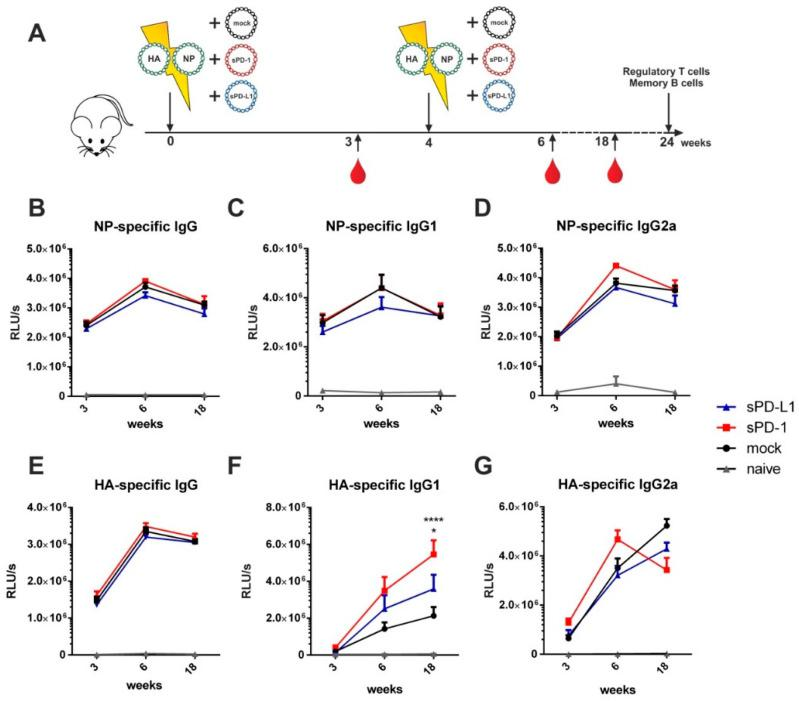 Soluble checkpoint co-expression modulates HA-specific antibody responses. ( A ) Six-week old BALB/c mice were electroporated intramuscularly with expression plasmids encoding for HA and NP together either with an empty vector (mock) or plasmids encoding for sPD-1 or sPD-L1. Four weeks after priming, a booster immunization was administered Blood was drawn at weeks 3, 6 and 18 and antibody responses were analyzed by ELISA. NP-specific IgG ( B ), IgG1 ( C ) and IgG2a ( D ) antibody responses and HA-specific IgG ( E ), IgG1 ( F ) and IgG2a ( G ) antibody responses in the sera of BALB/c mice after i.m. electroporation over a time-period of 18 weeks. Shown are mean values with SEM ( n = 9–18) and significant differences between immunized groups (two-way ANOVA analyses followed by Tukey's multiple comparison test, ( F ) * p