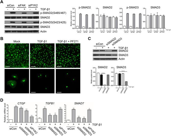PYK2 mediated CTGF induction by TGF-β1 is independent of Smad activation. ( A ) Western blot of activated forms of Smad2 and Smad3 upon TGF-β1 stimuli in LX2 transfected with siRNAs of negative control, FAK, or PYK2 (n = 3). ( B ) IF of Smad2 in LX2 grown on glass and treated as indicated (n = 4). Scale bar: 50 μm. ( C ) Western blot of Smad2 and Smad3 (n = 2) and ( D ) qPCR of indicated genes (n = 3) in LX2 transfected with siRNAs of control, Smad2, Smad3, or Pyk2. Student's t-test; * p