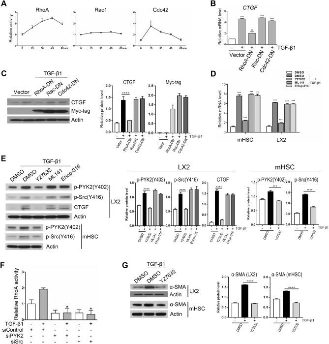 Activation of PYK2-Src-RhoA triad is essential for TGF-β1 mediated upregulation of CTGF. ( A ) G-LISA activation assay of Rho Small GTPase family in LX2 at different time points after TGF-β1 stimuli and shown as fold change (n = 4). ( B ) qPCR of CTGF mRNA expression (shown as fold change, n = 3) and ( C ) western of CTGF (n = 2) in LX2 transfected to overexpress the dominant-negative forms of Rho GTPase family members and followed by TGF-β1 stimuli. ( D ) qPCR of CTGF mRNA expression (shown as fold change, n = 3) and ( E ) western of activated forms of both PYK2 and Src, and CTGF (n = 2) in both activated mouse hepatic stellate cells and LX2 pretreated with Rho family inhibitors. ( F ) G-LISA assay of RhoA activation by TGF-β1 stimuli for 30 min in LX2 transfected with siRNA of control, PYK2, or Src (n = 3). ( G ) Western of α-SMA in both LX2 and activated primary mouse hepatic stellate cells that were pretreated with ROCK inhibitor Y27632 before TGF-β1 stimuli (n = 2). Student's t-test; * p