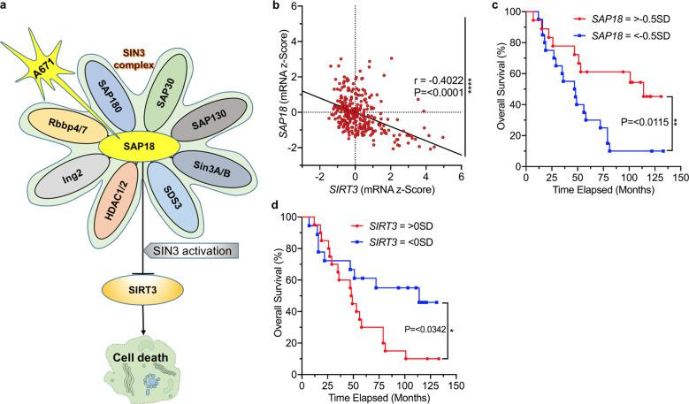 Correlation between SAP18 and SIRT3 transcription in BCALL patients predicts drug response. a A model for the effect of A671 on SAP18/SIN3 and SIRT3, and its impact on leukemic cell survival. A671 binds and stabilizes SAP18, leading to activation of the SIN3 complex and transcriptional repression of SIRT3 expression, which culminates in apoptotic cell death. b A significant negative correlation ( P = 0.0001 by two tailed student t -test) of SIRT3 and SAP18 in patients with BCALL, and correlation ( r ) of 0.4. (Spearman's rank analysis). c , d Overall survival rates for high SIRT3 and SAP18 expression in BCALL patients determined by Log-rank (Mantel-Cox) test.