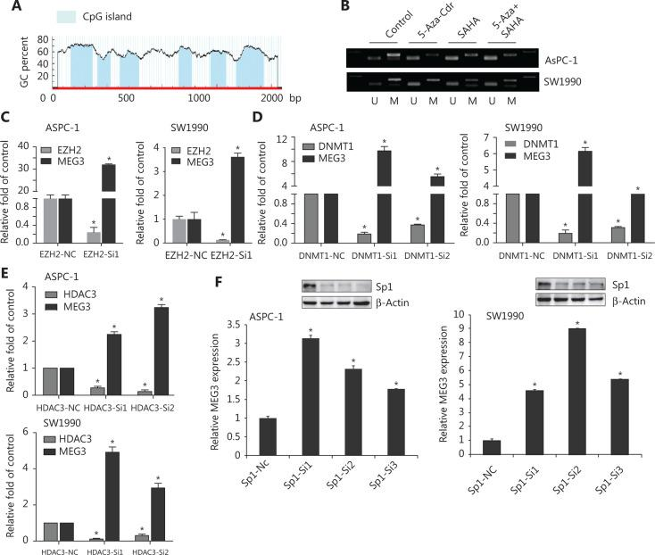Suppression of Sp1, EZH2, or HDAC3 levels led to reduced MEG3 expression. (A) The promoter region of MEG3 was rich in multiple CpG islands. (B) Expression of methylated and unmethylated MEG3 in pancreatic ductal adenocarcinoma cells treated with 5-AZA-CdR, SAHA or their combination. (C) MEG3 expression in EHZ2-nc and EZH2-siRNA cells. (D) MEG3 expression in DNMT1-nc and DNMT1-siRNA cells. (E) MEG3 expression in HDAC3-nc and HDAC3-siRNA cells. (F) MEG3 expression in Sp1-nc and Sp1-siRNA cells. * P