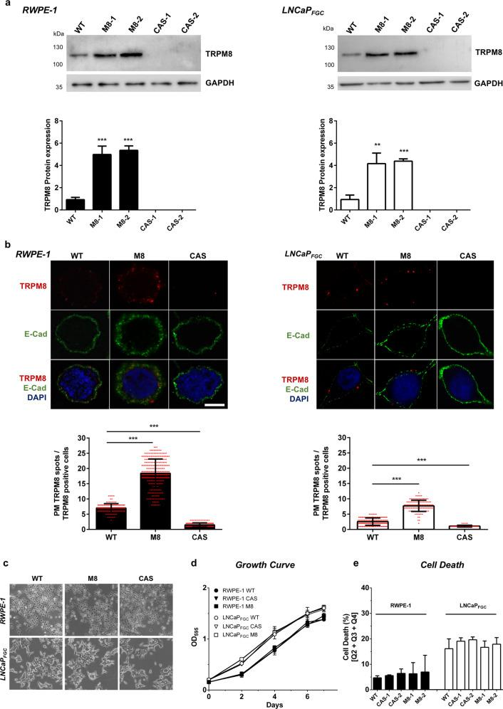 Modeling different levels of TRPM8 in RWPE-1 and LNCaP FGC prostate cell lines. a Western blot analysis and quantification of full-length 6TM TRPM8 amount in RWPE-1 and LNCaP FGC cell lines expressing endogenous (WT), overexpressed (M8) or knocked-out (CAS) levels of the protein. b Immunofluorescence analysis and quantification of PM-associated full-length 6TM TRPM8 in RWPE-1 and LNCaP FGC cell lines with endogenous (WT), overexpressed (M8), or knocked-out (CAS) levels of the channel. For quantification of PM TRPM8 positive cells a total of 6000 cells were counted from different fields. Scale bar, 5 μm. c–e Morphology ( c ), growth ( d ), and cell death ( e ) analyses of RWPE-1 and LNCaP FGC cell lines with endogenous (WT), overexpressed (M8), or knocked-out (CAS) levels of TRPM8. Error bars, mean ± SD. Experiments were performed in triplicate; data were analyzed using a two-tailed Student's t -test. ** P ≤ 0.01; *** P ≤ 0.001.