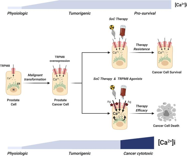 Proposed model for therapy resistance bypass in PCa cells. The scheme shows the lethal synergy between standard-of-care therapies and Ca 2+ cytotoxicity induced by potent TRPM8 agonists in PCa cells expressing increased amounts of the channel (BioRender.com).