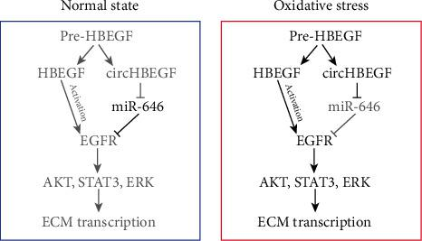 Proposed working model based on our studies. Schematic summarizing our proposed model for circHBEGF in promoting ECM production in HTMCs. circHBEGF directly adsorb miR-646 as a sponge, through which regulate the expression of EGFR. Therefore, circHBEGF can activate EGF signaling (STAT3, AKT, and ERK), through which transcriptionally upregulates ECM gene expression in HTMCs.