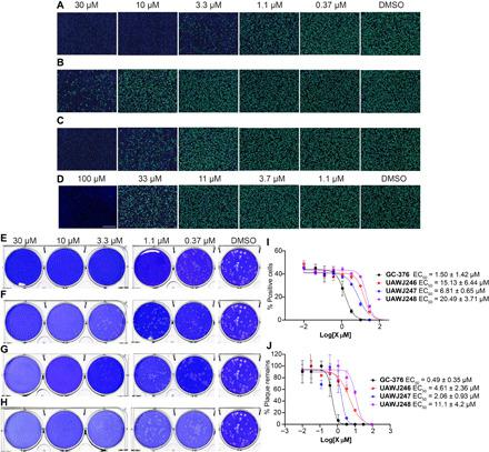 Antiviral activity of GC-376 analogs. ( A to D ) Antiviral activity of GC-376 analogs against SARS-CoV-2 in the immunofluorescence assay. (A) GC-376 ; (B) UAWJ246 ; (C) UAWJ247 ; (D) UAWJ248 . Vero E6 cells in a 96-well plate were infected with SARS-CoV-2 (USA-WA1/2020 isolate) at an MOI of 0.05 in the presence of the indicated concentrations of the tested compounds. At 48 hours post infection (hpi), the cells were fixed and stained with a rabbit monoclonal antibody against the SARS-CoV-2 NP and a secondary antibody conjugated with Alexa 488 (green). The nuclei were counterstained with Hoechst dye (blue). For each well, fluorescence images of approximately 10,000 cells were acquired and shown. The images are representatives of three repeats. ( E to H ) Antiviral activity of GC-376 analogs against SARS-CoV-2 in the plaque assay. (E) GC-376 ; (F) UAWJ246 ; (G) UAWJ247 ; (H) UAWJ248 . Vero E6 cells in six-well plates were infected with approximately 40 plaque-forming units per well of SARS-CoV-2 (USA-WA1/2020 isolate). After 1 hour, the inoculum was removed, and the cells were overlaid with medium containing the indicated concentrations of the tested compounds and 1.2% Avicel RC-591. At 3 days post infection, the overlay was removed, and the cells were stained with 0.2% crystal violet. The images are representatives of two repeats. Data fitting of the antiviral activity of GC-376 analogs against SARS-CoV-2 in the immunofluorescence assay ( I ) and the plaque assay ( J ).