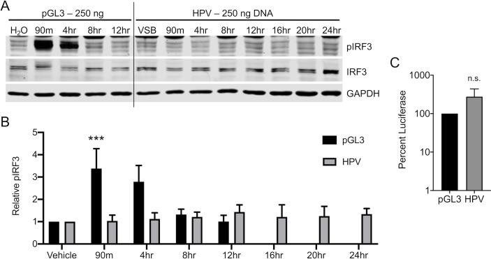 HPV16 evades cGAS/STING responses in HaCaTs during initial infection. cGAS/STING responses to pGL3 and HPV PsV in HaCaTs. (A, B) Cells were either transfected for 90 min with 250 ng pGL3 or infected for the duration of the experiment with 950 ng L1 (equivalent to 250 ng DNA) of HPV16 virions. Cells were harvested at various times post-treatment and cGAS/STING responses assessed via western blotting. (A) IRF3 was phosphorylated, most prominently at 90 min and 4 hr post pGL3 transfection, while IRF3 was not phosphorylated at any time post HPV16 infection, representative blot of n = 4 biological replicates. (B) Densitometric quantification of western blots, n = 4 biological replicates. Statistics calculated by two-way ANOVA ( P interaction = 0.0138) followed by Sidak's multiple comparison test (*** P