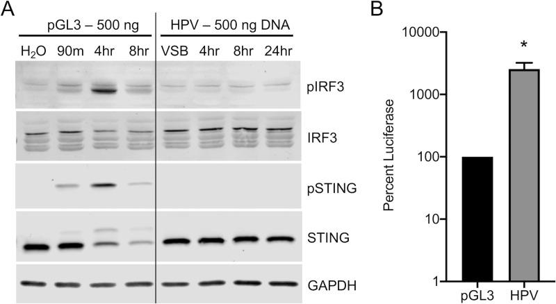 HPV16 evades cGAS/STING responses in HFKs during initial infection. cGAS/STING responses to pGL3 and wildtype HPV in primary HFKs. (A) HFKs were either transfected for 90 min with 500 ng pGL3 or infected for the duration of the experiment with 1900 ng L1 (equivalent to 500 ng DNA) of HPV virions. Cells were harvested at various times post-treatment and cGAS/STING responses assessed via western blotting. (A) IRF3 was phosphorylated 4 hr post pGL3 transfection, while IRF3 was not phosphorylated at any time post HPV infection with HPV PsV. representative blot of n = 3 biological replicates. (B) Cells were either transfected for 90 min with 250 ng pGL3 or infected for the duration of the experiment with an equivalent amount of HPV virions. Luciferase activity was measured 24 hr post-treatment, normalized to GAPDH, and corrected for pGL3 encapsidation as described in Materials and Methods . * P